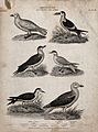 Six waterbirds of the order Anseres. Line engraving by T. Mi Wellcome V0020568.jpg