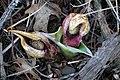 Skunk cabbage (5556187480).jpg