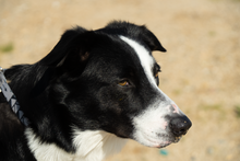 Border Collie Wikiwand