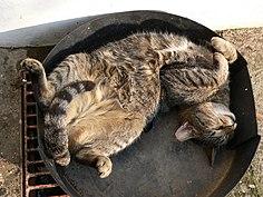 Sleeping Cat (137546402).jpg