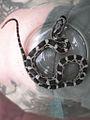 Snake with face on head.jpg