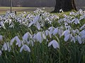 Snowdrops in St Peter's Churchyard, Easthope - geograph.org.uk - 689879.jpg