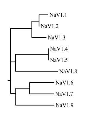 Sodium channel - Figure 1. Likely evolutionary relationship of the nine known human sodium channels.