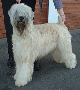 Irish soft-coated wheaten terrier