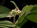 Solanum erianthum Don W2 IMG 1621.jpg