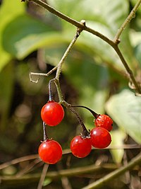 Solanum lyratum(fruits)091121