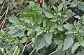 Solanum nigrum 20140905 180800 9196.JPG
