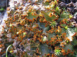 Safranflechte (Solorina crocea)