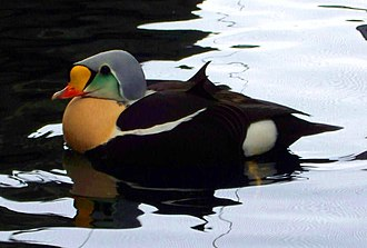 Eider - King eider in breeding plumage