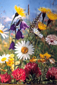 http://upload.wikimedia.org/wikipedia/commons/thumb/d/d8/Sommerblumen01.JPG/240px-Sommerblumen01.JPG