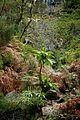 Sonchus fruticosus, Levada das 25 Fontes - Nov 2010.jpg