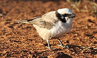 Southern White-crowned Shrike.jpg