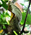 Southern birdwing pupa.jpg