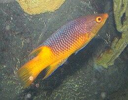 Spanish Hogfish 2