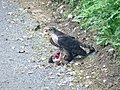 Sparrow Hawk with Kill... - geograph.org.uk - 1501265.jpg