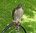 Sparrowhawk Accipiter nisus (48451678566).jpg