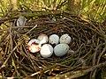Sparrowhawk Nest 06-05-12 (7149620243).jpg