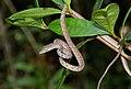 Speckle-headed Vine Snake (Ahaetulla fasciolata) (8741964890).jpg