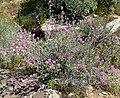 Sphaeralcea ambigua var rosacea 4.jpg