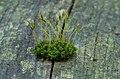 Sphagnum - moss - Moos 01.jpg
