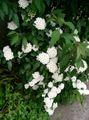 Spiraea cantoniensis2.jpg