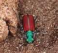 Splendid Tiger Beetle No. 1 (8622206649).jpg