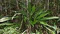 Split-leaf Cyclanthus (Cyclanthus bipartitus) (39832728445).jpg
