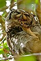 Spotted Eagle Owl (Bubo africanus) male having some pedicure ... (30092569380).jpg