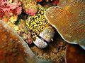 Spotted moray eel.jpg
