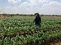 Spraying Maize.jpg