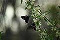Spring-butterflies-gathering-nectar-autumn-olive - West Virginia - ForestWander.jpg