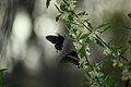 Spring-butterflies-gathering-nectar-autumn-olive - West Virginia - ForestWander.jpg