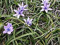 Spring Squill - geograph.org.uk - 63092.jpg