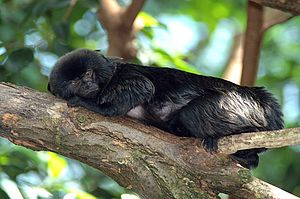 Goeldi's marmoset - Image: Springtamarin