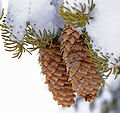 Spruce cones (2383147130).jpg