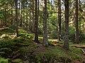 Spruces in Gullmarsskogen ravine.jpg