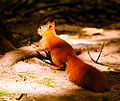 Squirrel + Sun = Fire (20047414692).jpg