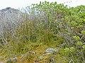 Starr-010520-0083-Cassytha filiformis-habit on naupaka-Inland-Kure Atoll (24532772765).jpg