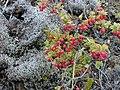 Starr-011003-0144-Vaccinium reticulatum-fruit-Holua HNP-Maui (23914471964).jpg