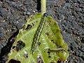 Starr-020221-0009-Cordia subcordata-Ethmia nigroapicella kou leafworm-Kahului near canoe clubs-Maui (24546803745).jpg