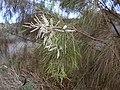 Starr-030923-0204-Tamarix aphylla-flowers-LZ1-Kahoolawe (24640209385).jpg