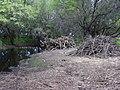 Starr-040403-0031-Schinus terebinthifolius-cut logs-Kanaha Beach-Maui (24072706334).jpg