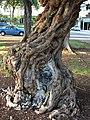 Starr-070727-7613-Conocarpus erectus-trunk-Ala Moana Beach Park-Oahu (24772159512).jpg