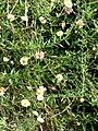 Starr-070908-9440-Erigeron karvinskianus-flowering habit-Polipoli-Maui (24265112854).jpg