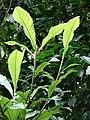 Starr-080326-3718-Eriobotrya japonica-leaves-Olinda Rd-Maui (24610833530).jpg