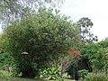 Starr-090416-6011-Tithonia diversifolia-habit-Makawao-Maui (24834049292).jpg