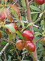 Starr-090514-7838-Prunus persica var nucipersica-fruit-Kula-Maui (24324680254).jpg