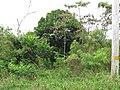 Starr-090623-1620-Filicium decipiens-naturalized in area-Kaeleku-Maui (24671498920).jpg
