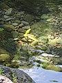 Starr-090702-2004-Mangifera indica-leaves in pond-Chings Pond Hana Hwy-Maui (24968291325).jpg