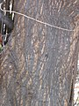 Starr-090707-2367-Pithecellobium dulce-bark-Olowalu-Maui (24850993512).jpg